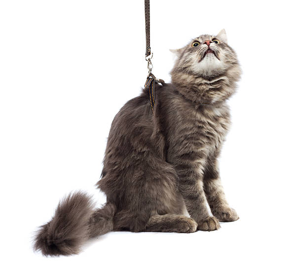funny cat on a leash, white background - cat leash stock photos and pictures