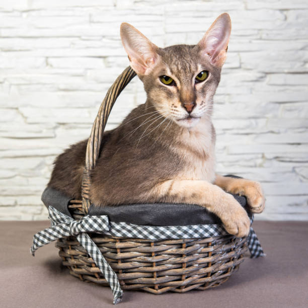 Funny Cat Oriental in a basket inside on Easter stock photo