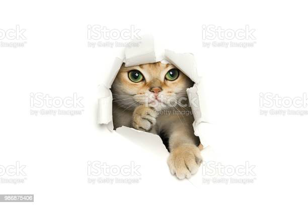 Funny cat peeking out of torn paper isolated on white background picture id986875406?b=1&k=6&m=986875406&s=612x612&h=uzsnhvvgack3adxtw66qflopr78fh0dk3fdclv7r0ca=