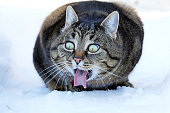 Funny cat photo - A cat stretches out the tongue