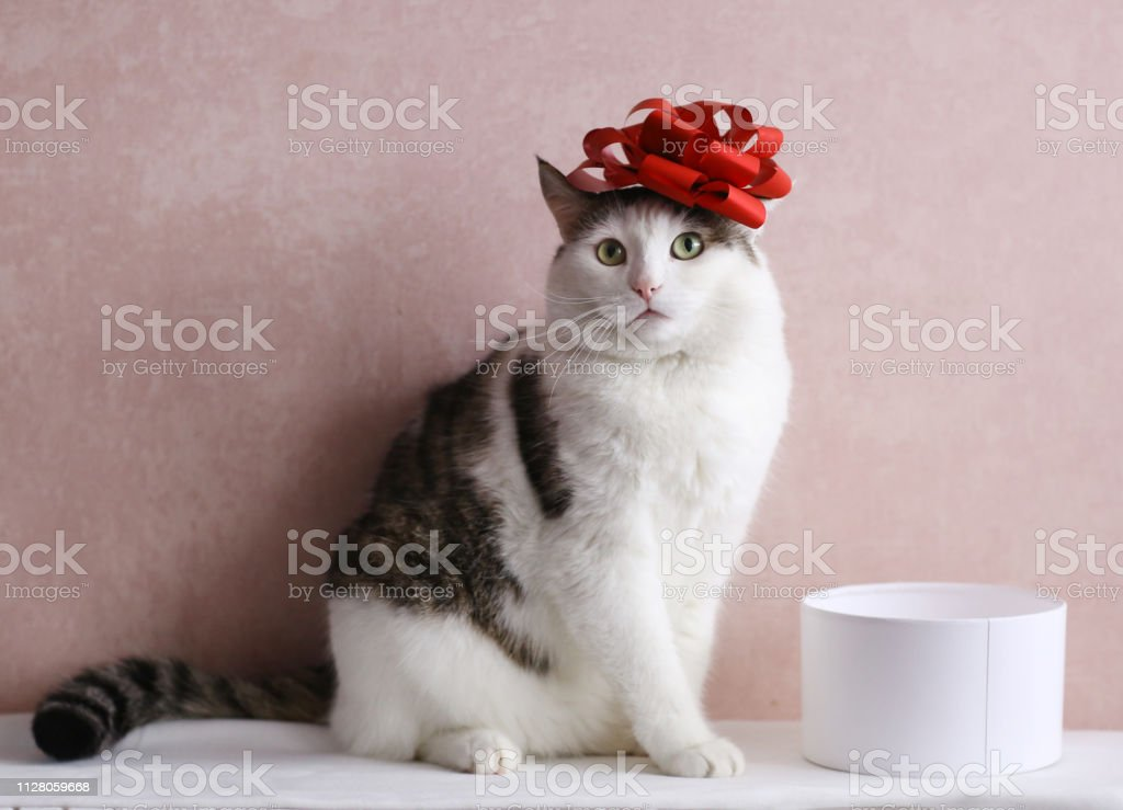 funny cat photo with gift box with red bow on head stock photo
