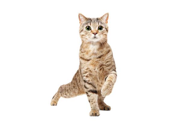 Funny cat Scottish Straight dancing stock photo