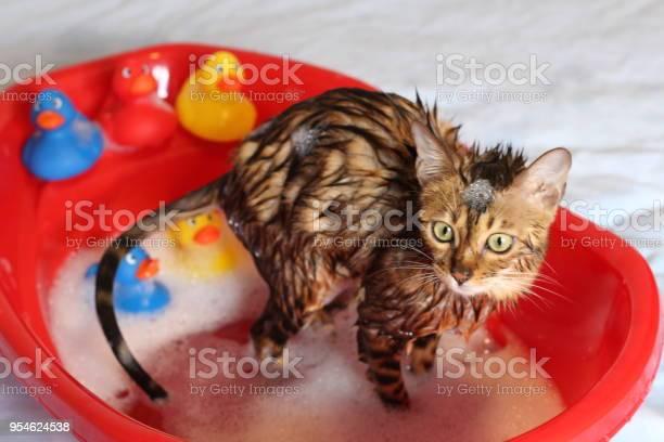 Funny cat taking a bath picture id954624538?b=1&k=6&m=954624538&s=612x612&h=hi4hfjuhribzo7y0v9ty1o6rfwkwh0fkzolrs2m3gc8=