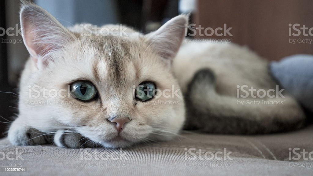 Funny Cat With Green Eyes Breed Golden Shaded British Shorthair Closeup  Stock Photo - Download Image Now