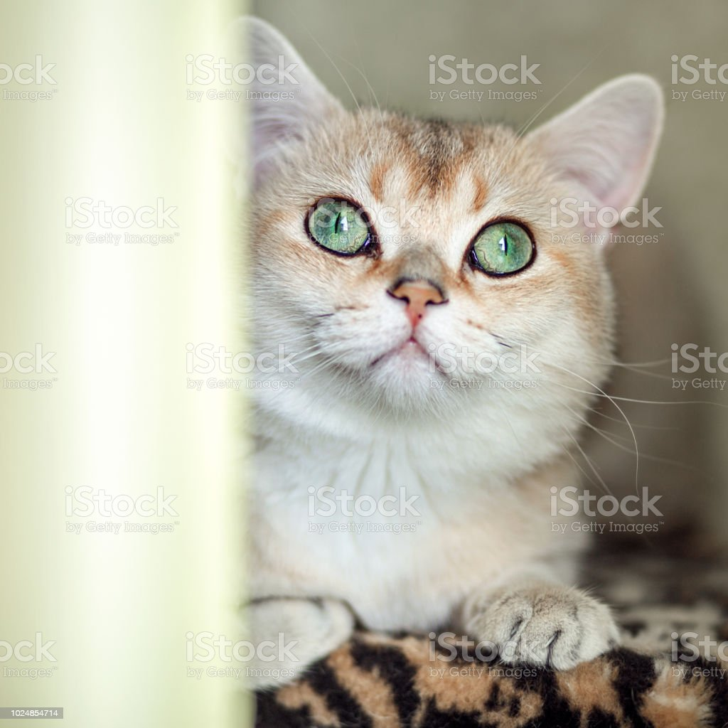 Funny Cat With Green Eyes Breed Golden Shaded British