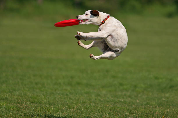 Funny catching Jack russel terier during a funny frisbee catch... catching stock pictures, royalty-free photos & images