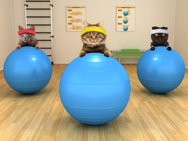funny cats are doing exercise with stability ball. fitness club. - animal health stock photos and pictures
