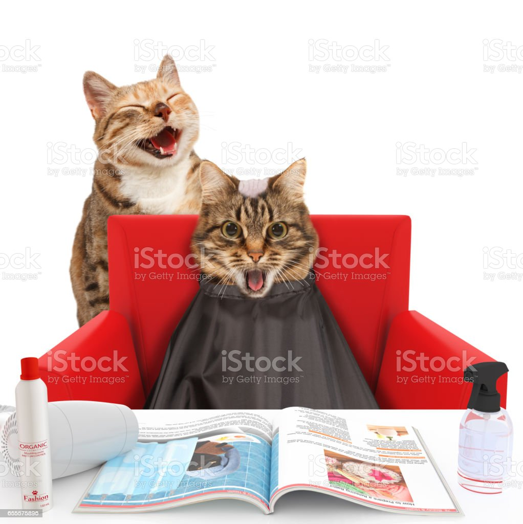 Funny cats at the hairdresser on the white background. The hairdresser is making a mistake. Cat with the bald head. - foto stock