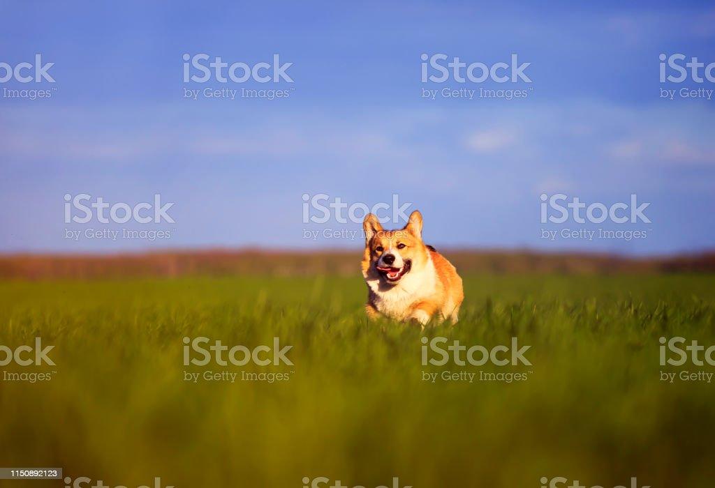 funny cheerful pet red dog puppy Corgi runs through the green Sunny...