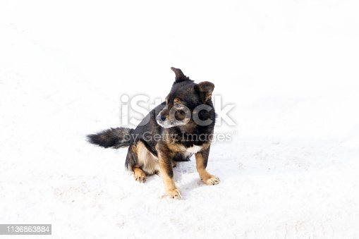 531058808istockphoto funny chihuahua dog posing on a beach in sunglasses . 1136863884