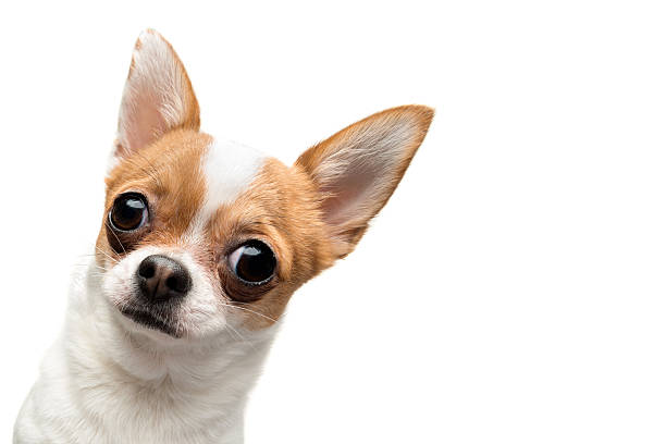 Funny chihuahua peeping out the frame picture id462392661?b=1&k=6&m=462392661&s=612x612&w=0&h=y3vmq50fzabl52gsukw5h8x 9lxwo ouciply5xtc3i=