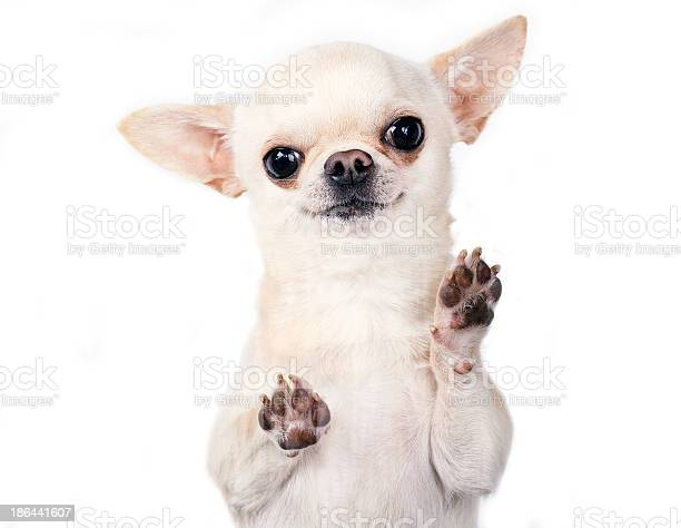 Funny chihuahua picture id186441607?b=1&k=6&m=186441607&s=612x612&h=zehllbrxsp8cwq2anzkmbsaziylkkepju8sazasiw8e=