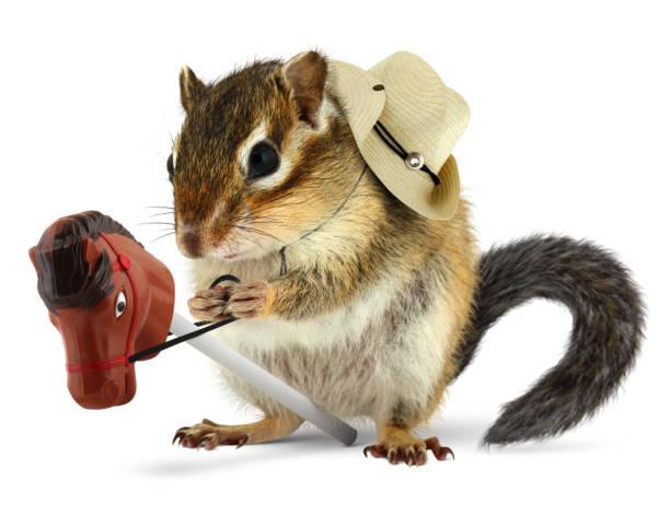 lustige streifenhörnchen cowboy mit stick pferd auf weiß - lustige pferde stock-fotos und bilder