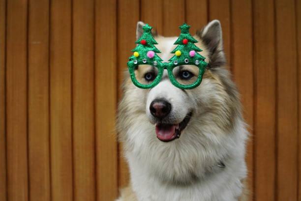 lustige weihnachts-dekoration am mischkopf hunderasse - deko geweih stock-fotos und bilder