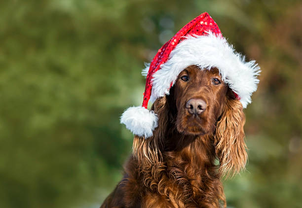 Funny Christmas dog Christmas dog with Santa Claus hat irish setter stock pictures, royalty-free photos & images