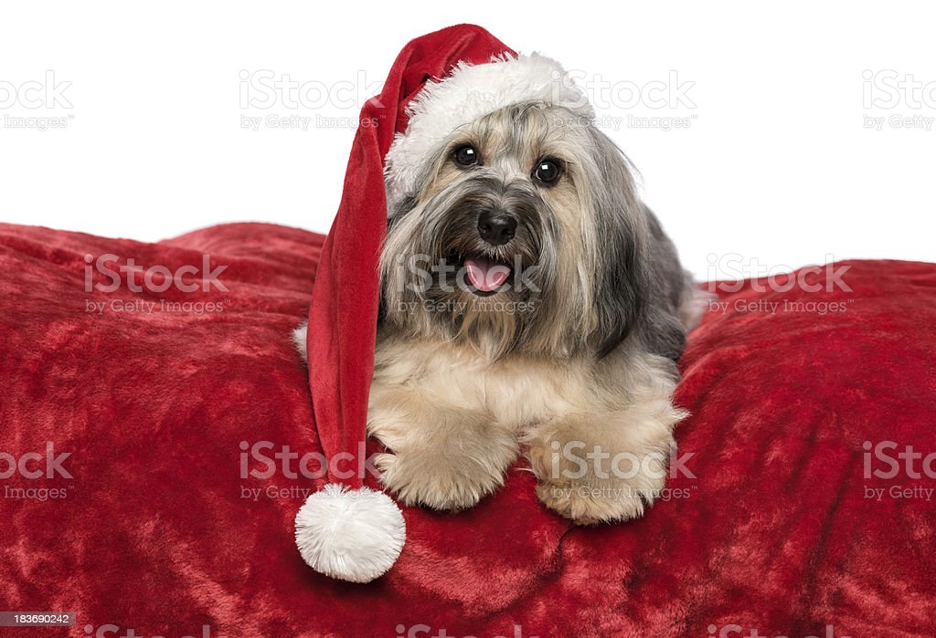 funny christmas dog with santa hat on a red blanket royalty free stock photo