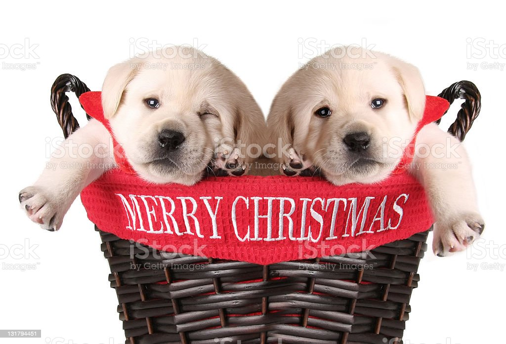Funny Christmas puppies stock photo