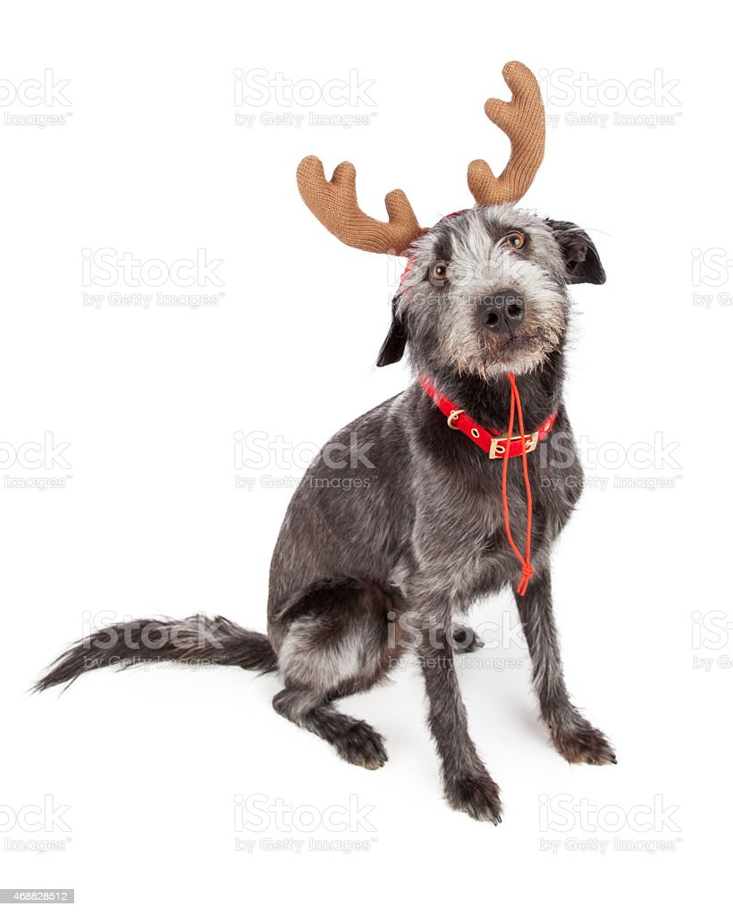Funny Christmas Reindeer Dog stock photo