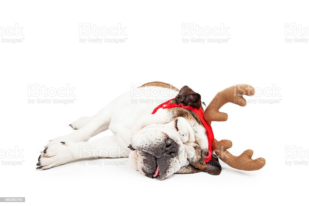 Funny Christmas Reindeer Tired Dog stock photo