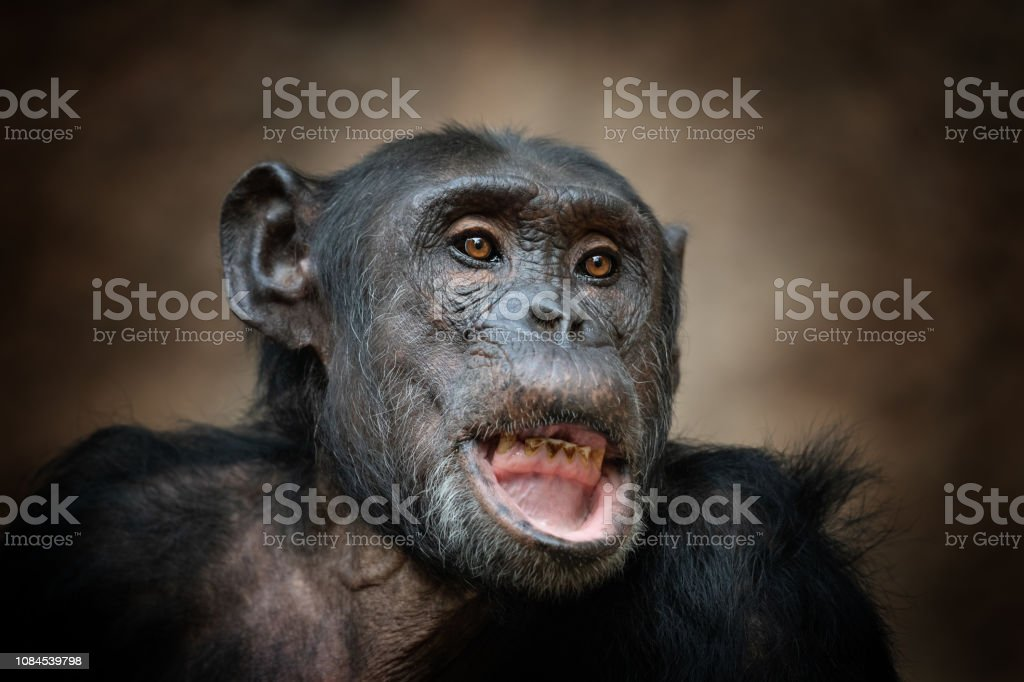 Funny Common Chimpanzee Making A Face Stock Photo - Download