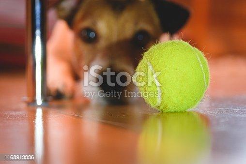 Jack Russell Terrier lying on floor