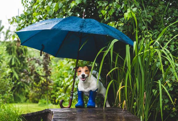 Grappig concept van slecht regenachtig weer met hond in Wellington laarzen onder paraplu foto