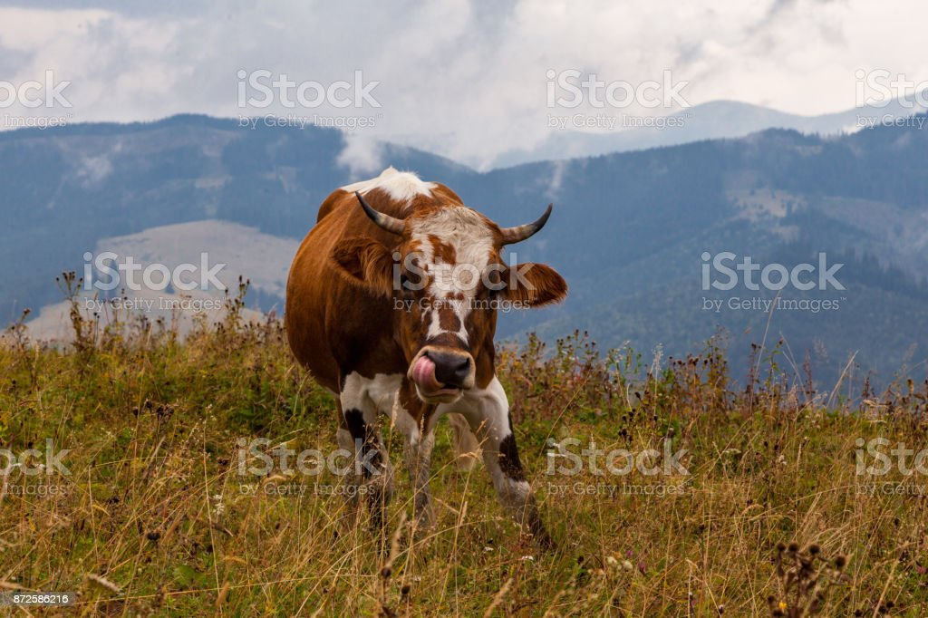 A funny cow in the mountains stock photo