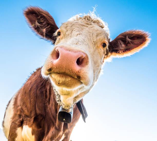 lustige Kuh – Foto
