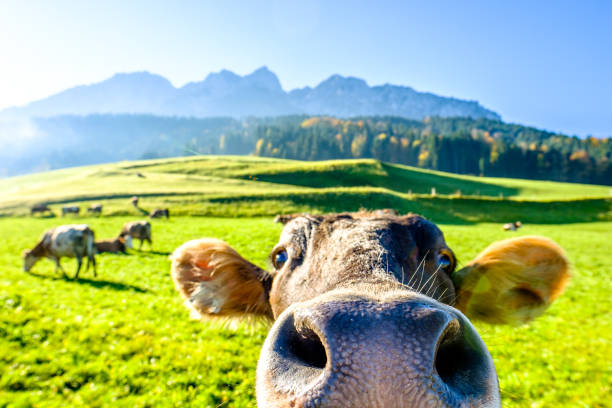funny cow funny cow at the kaisergebirge mountain livestock stock pictures, royalty-free photos & images