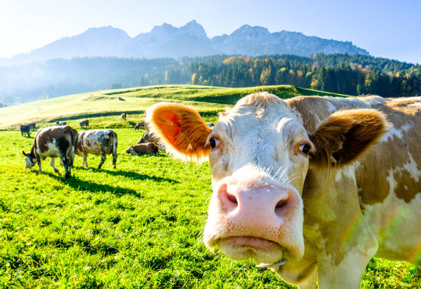Best Funny Cow Stock Photos, Pictures & Royalty-Free ...