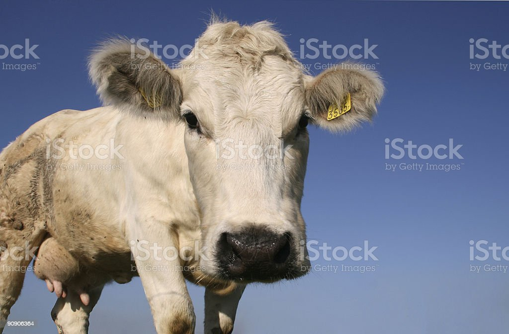Funny cow royalty-free stock photo