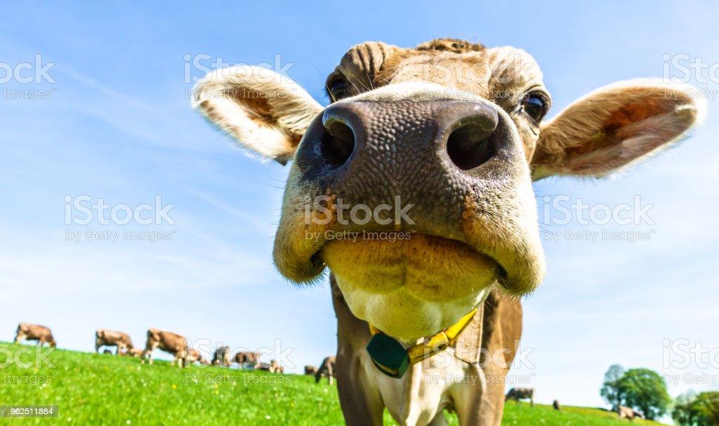 Engraçado vaca - Foto de stock de Agricultura royalty-free