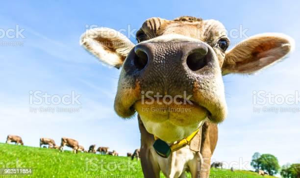Foto de Engraçado Vaca e mais fotos de stock de Agricultura