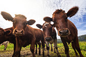 istock Funny cows portrait with a wide angle lens: crazy playful cattle 1250435436