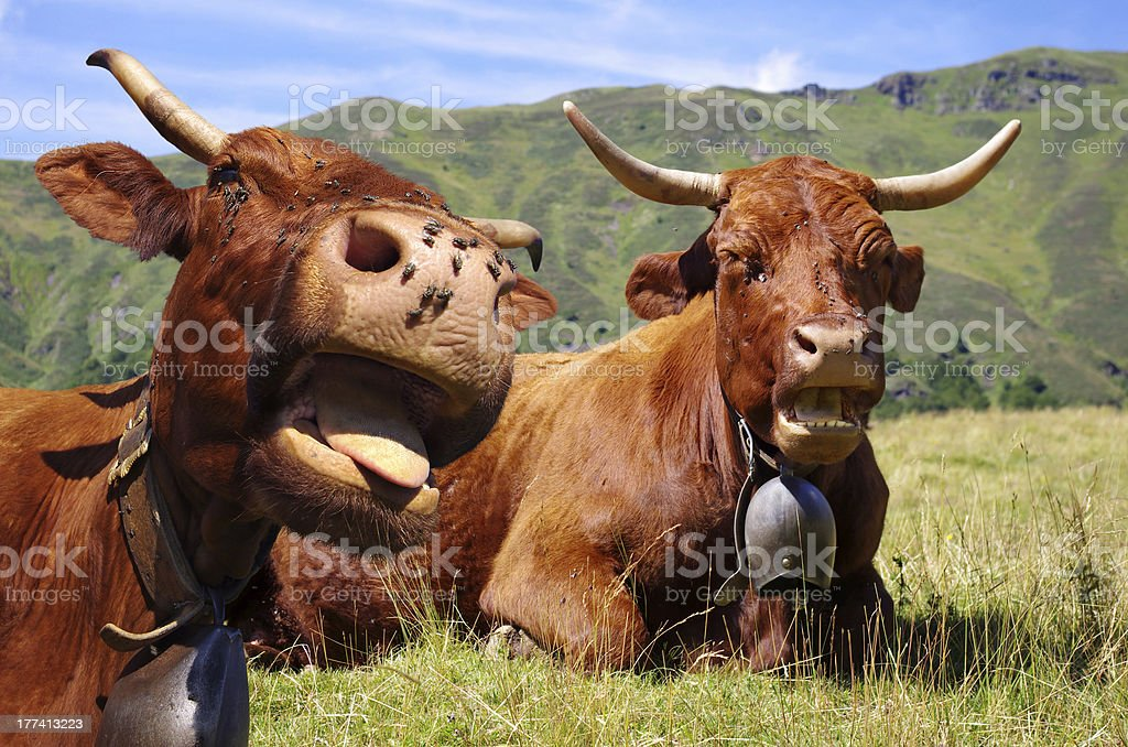 Funny cows – Rural scene stock photo
