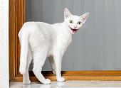 istock Funny Crazy Cat 493743730