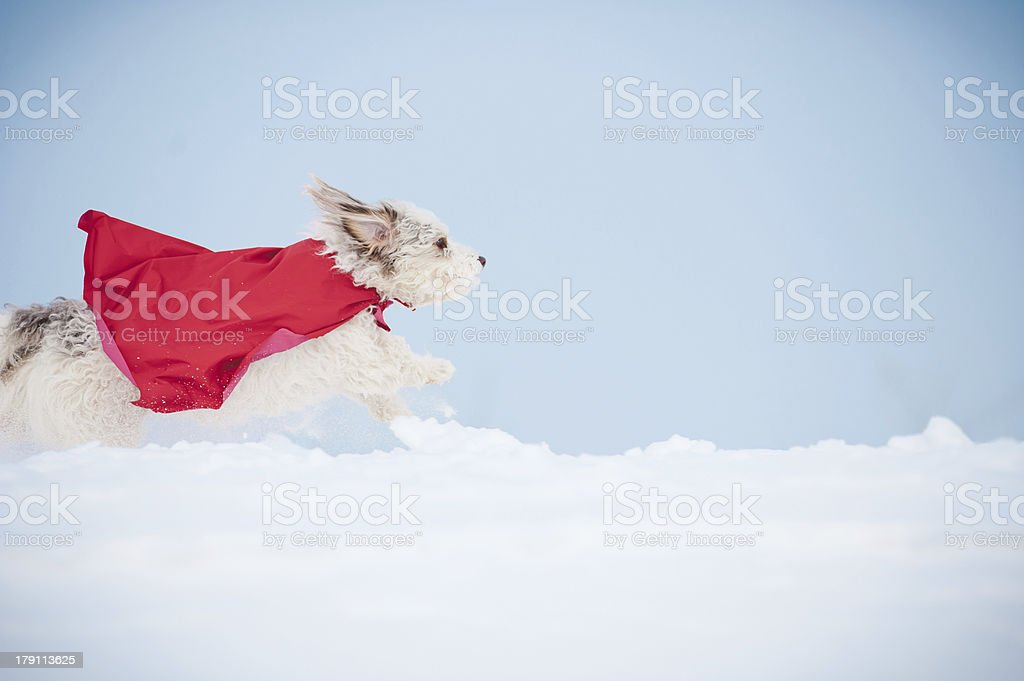funny curly super dog running stock photo