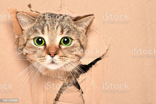 Funny cute cat scottish strait looks out of a torn hole in a box picture id1097009388?b=1&k=6&m=1097009388&s=612x612&h=mls4bbjdjs9nkt1y ue6va7omvxockgpeuwqspwotem=