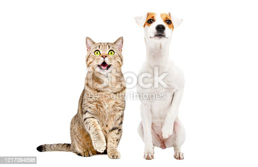 885056264 istock photo Funny cute cat Stottish Straight and dog Parson Russell Terrier sitting together with raised paws, isolated on white background 1217094598