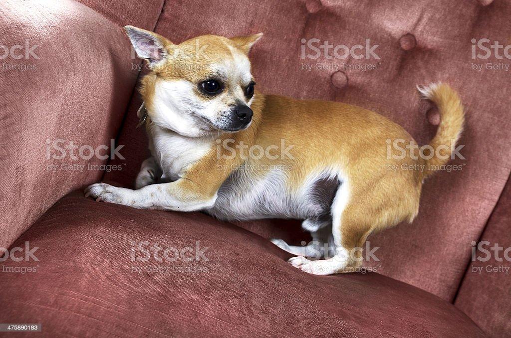 Lustige Süße Chihuahua Hund Halbe Liegen Auf Dem Stuhl Stockfoto Und