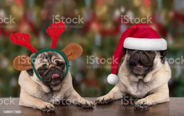 Funny cute christmas pug puppy dogs leaning on wooden table wearing picture id1069317350?b=1&k=6&m=1069317350&s=612x612&h=t346m4jsfhy0w2brruscx7mfqpmcrdjjzh1jwymvnm4=