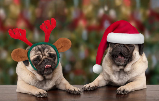 funny cute christmas pug puppy dogs leaning on wooden table, wearing santa claus hat and reindeer antlers, with seasonal background - christmas background стоковые фото и изображения