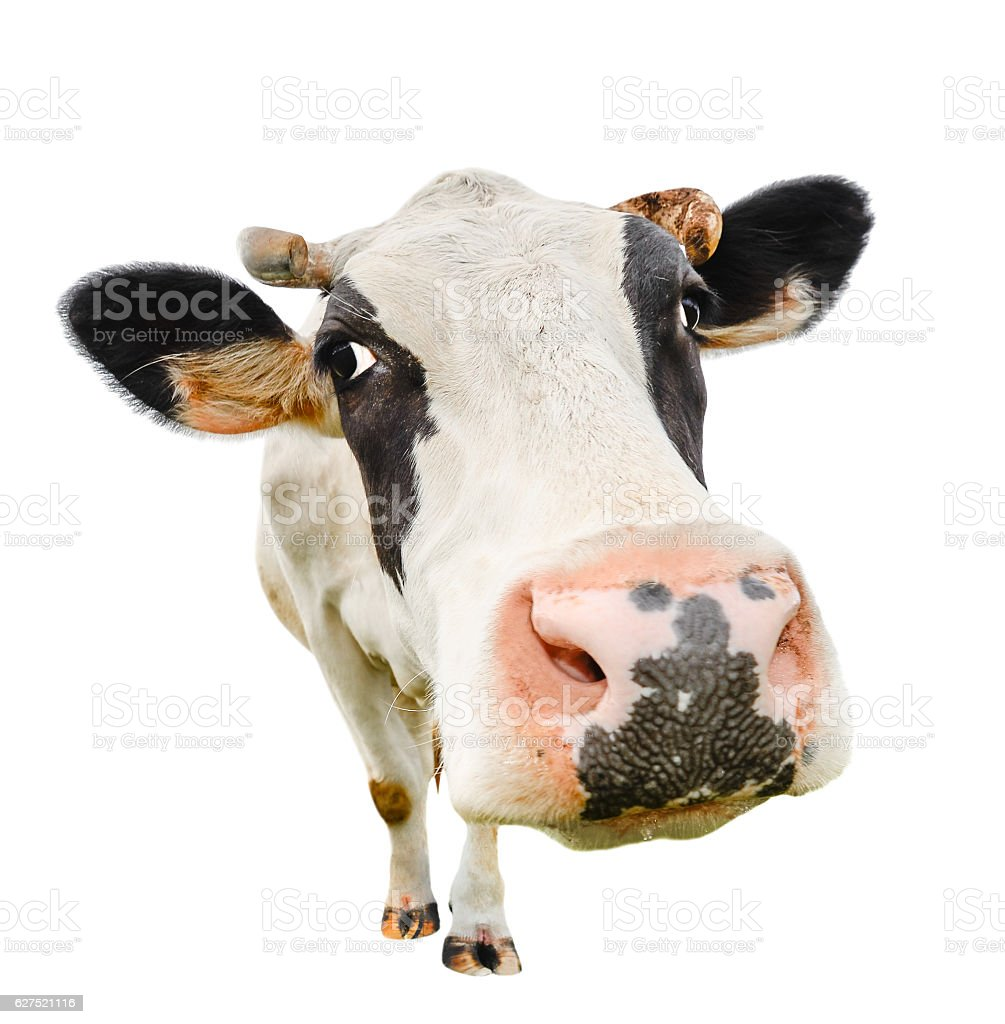 Funny cute cow isolated on white stock photo