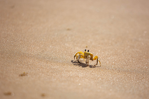 Funny cute crab crawling at the beach sand alone at day
