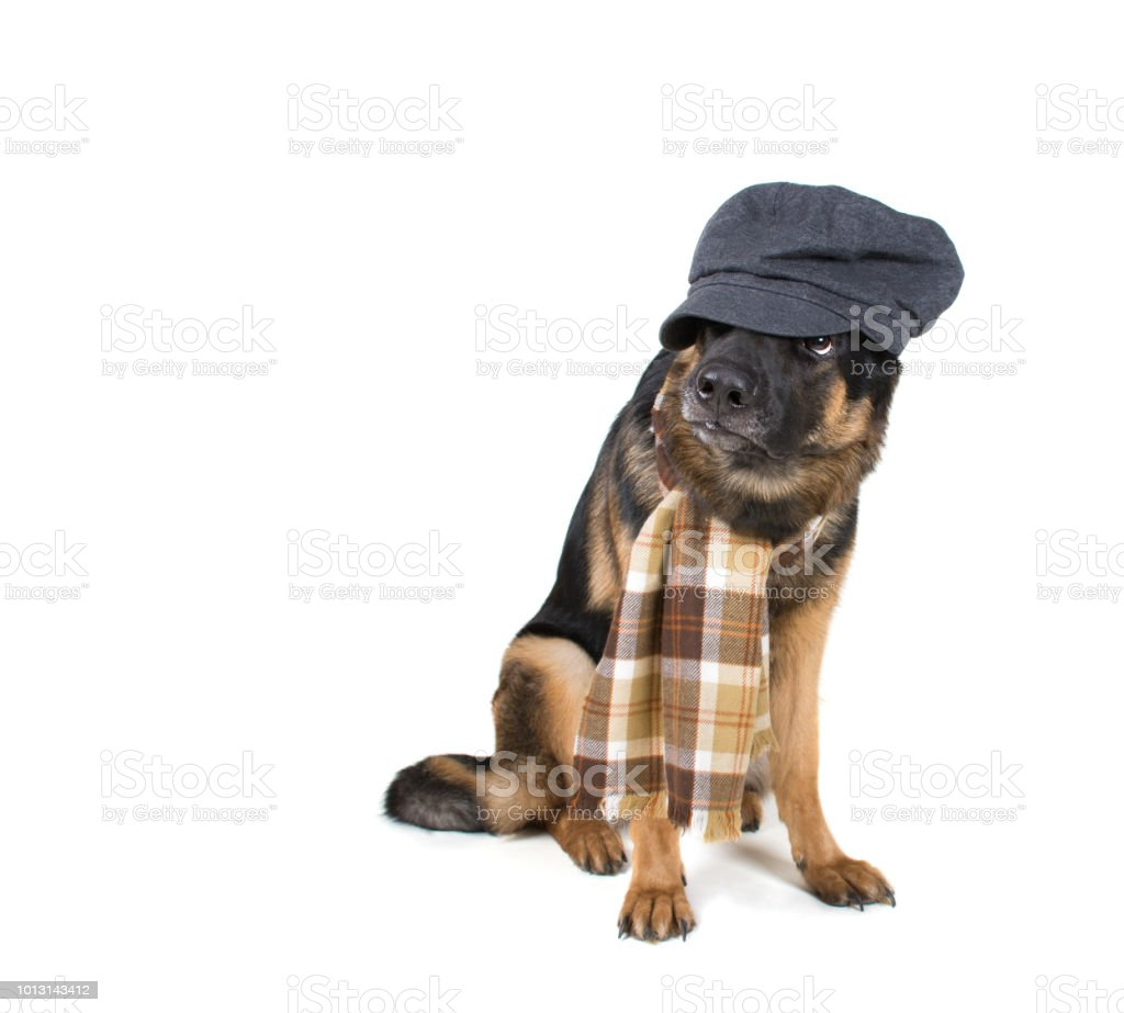 Funny Cute Dog Wearing A Flat Cap And A Scarf Stock Photo   More ... 7ffbe702aa6