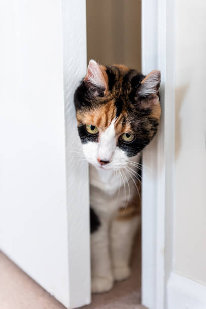 funny cute expression face female calico cat entering room pushing door out of way with head, mischief guilty kitty on carpet in home inside house, green, big, large eyes - going inside eye imagens e fotografias de stock