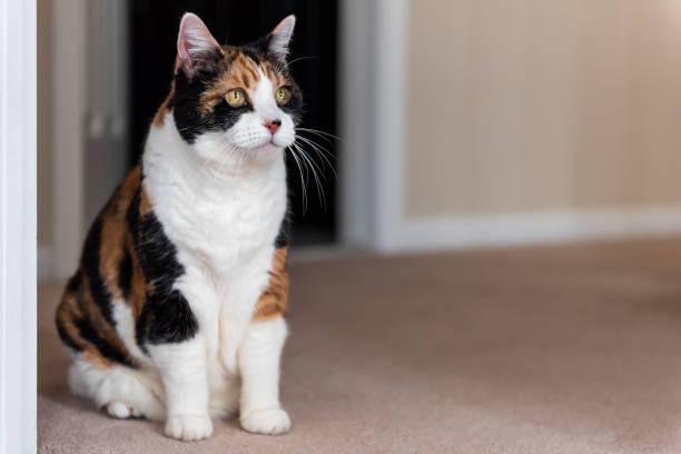 funny cute face female calico cat sitting on carpet in home inside house eyes by doorway to room looking - going inside eye imagens e fotografias de stock