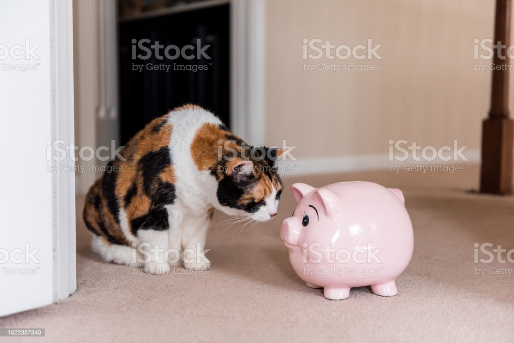 Funny cute female calico cat sitting on carpet in home room inside house, looking at pink pig piggy bank toy stock photo