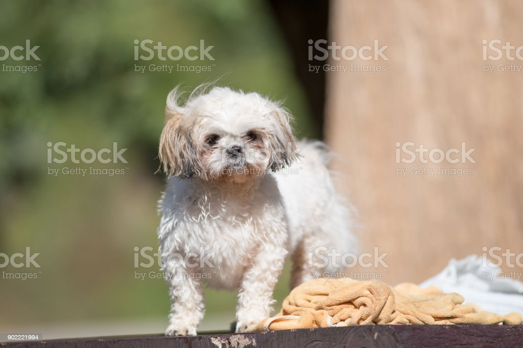 Funny Cute Shihtzu Puppy Dog After Bath Stock Photo Download Image Now Istock
