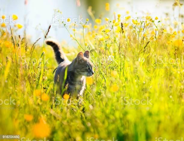 Funny cute striped kitty walks on a green sunny bright flowering in picture id916204450?b=1&k=6&m=916204450&s=612x612&h=xthtxzsvlx1cioeu8l6 w5jr6q03jwgz89pyofqedoe=